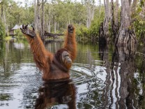 Wild male Bornean orangutan Pongo pygmaeus on the Buluh Kecil River Borneo Indonesia Southeast