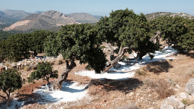Mastix Bäume Griechenland
