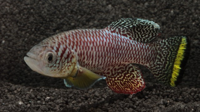 fully grown adult male killifish (Nothobranchius furzeri)