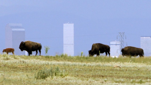 Wild bison walk along a ridge in the Rocky Mountain Arsenal National Wildlife Refuge