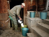 Farmer Niklaus Waber pours milk into a bucket at the mountain pasture Unterbaergli above Sigriswil