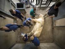 Eisbär erhält Allergietest
