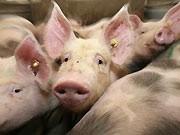 Schweine, dpa