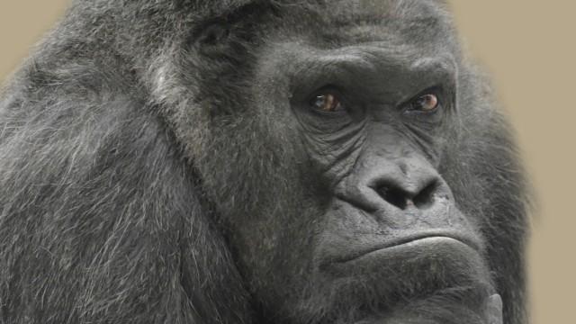 Gorilla Fritz
