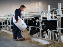 A farmer feeds calves in a barn at a dairy farm in South Mountain