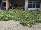 abgeerntete cannabispflanzen