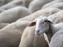 Futtermangel für Schafe in Bayern