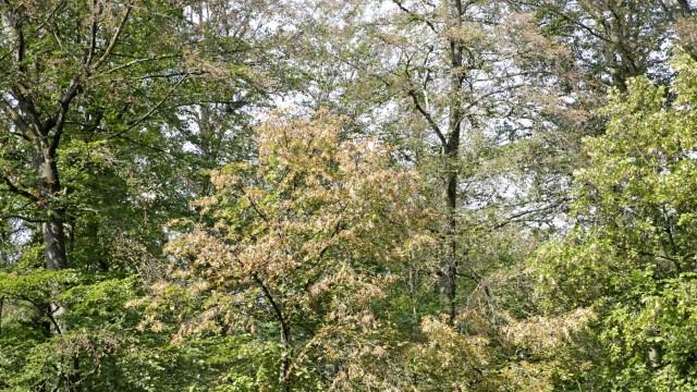Bad Tölz-Wolfratshausen Extremjahr für die Bäume