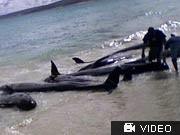 Australien: Mehr als 80 Wale gestrandet, AFP