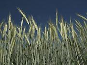 Weizen, getty
