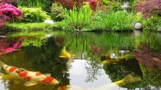 Big Kois im Teich