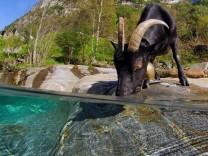 Eine Ziege trinkt aus dem Fluss Verzasca im Tessin.