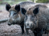 Wildschweine in Mecklenburg-Vorpommern
