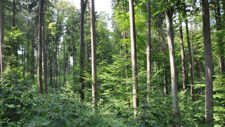 Atemberaubend Ebersberger Forst: Wie aus Mischwald Monokultur wurde - Ebersberg @ZZ_55