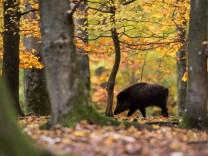 Wildschweine bei Stuttgart