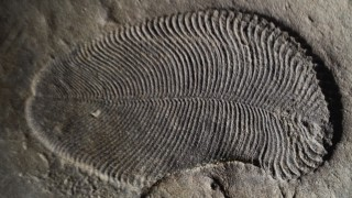 THIS IS A DICKINSONIA FOSSIL