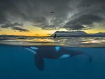 Schwertwale vor Norwegen