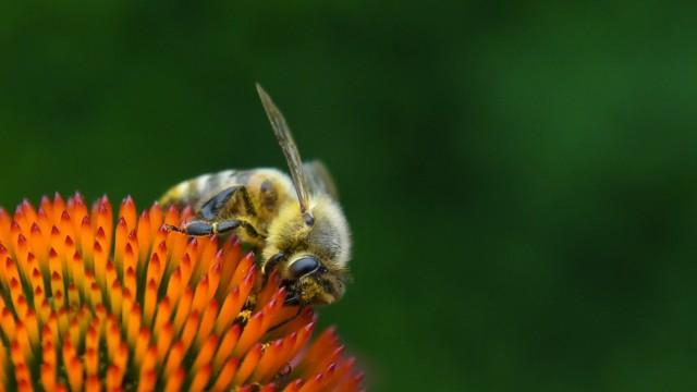 Rettet die Bienen - Was Hobbygärtner tun können