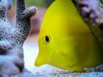 Korallen und Doktorfisch