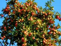 Apfelbaum voller Äpfel, Erntejahr 2018