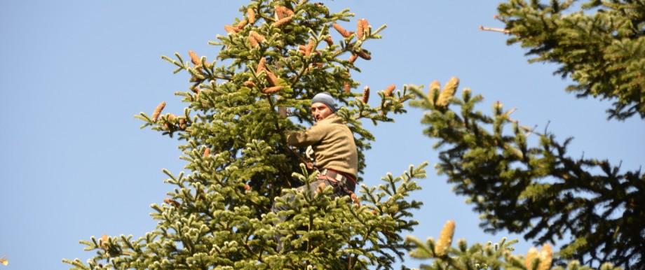 Gutschein Weihnachtsbaum.Georgien Wipfelstürmer Im Weihnachtsbaum Reise Süddeutsche De