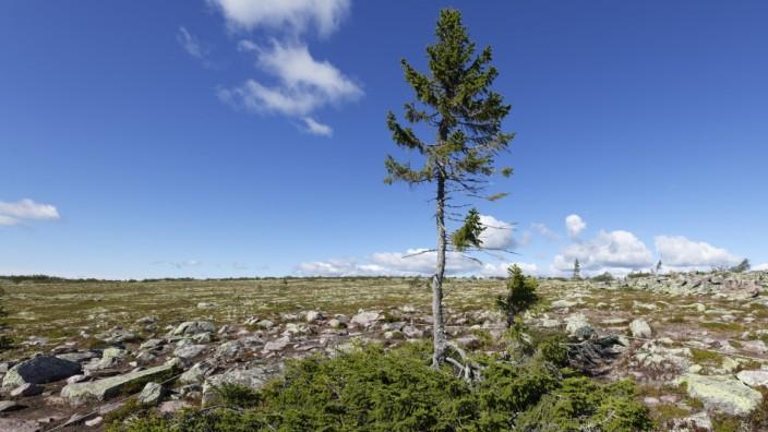 Old Tjikko - der Älteste Baum der Welt