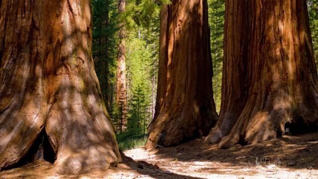 Biologie Riesenmammutbäume