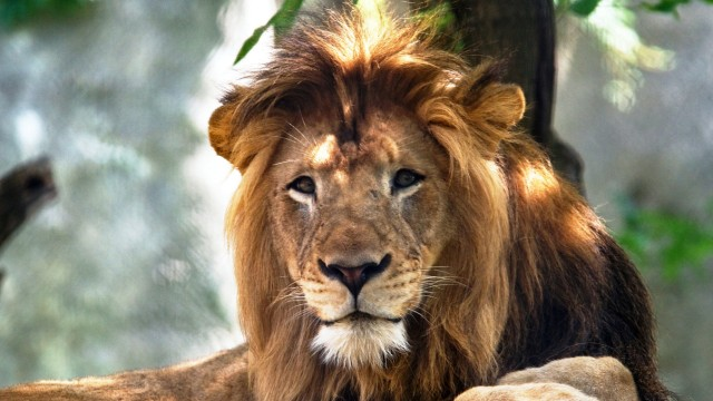 The Indianapolis Zoo's adult male lion named Nyack at the zoo in Indianapolis