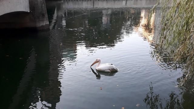 Pelikan in München