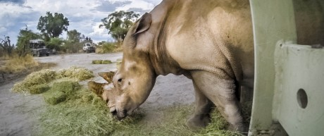 Fernreise Nashörner in Botswana