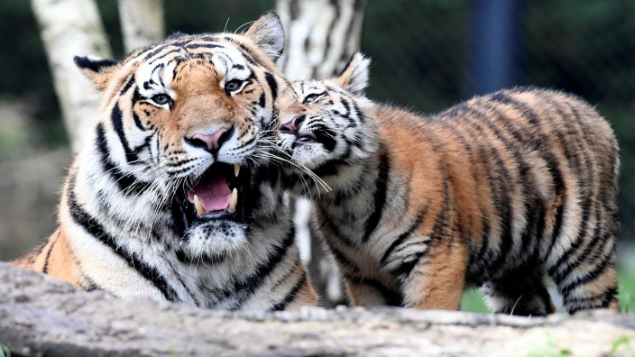 Tiger 'Maruschka' (not pictured) and her four cubs meet the cubs' father 'Yasha' for the first time in Hagenbecks zoo in Hamburg