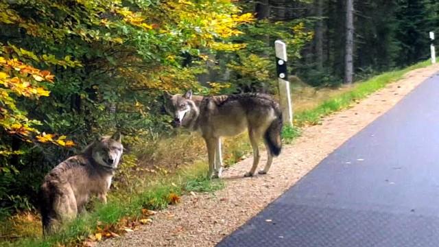 Entlaufene Wölfe im Bayerischen Wald