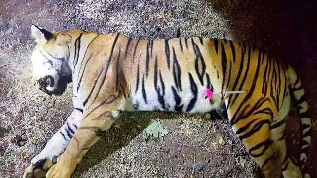 Nach Zwei Jahren Jagd Suchtrupps Erschießen Tiger Panorama