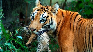FILE PHOTO: A tigress carries her cub at a zoological park in the northeastern city of Guwahati