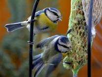 Im Winter Vögel füttern halten Experten nicht unbedingt für notwendig.