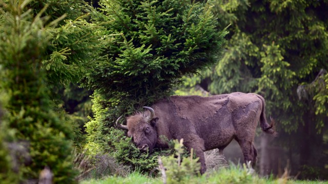 Wisent Egnar European Bison Project Seeks A Return To The Wild
