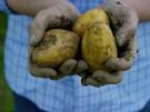 Kartoffelpreise steigen um mehr als die Hälfte (Vorschaubild)