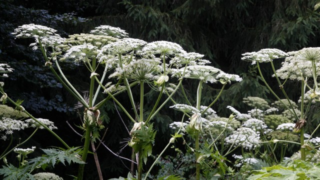 Riesenbärenklau (Heracleum mantegazzianum)