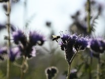 Biene auf Blumenwiese