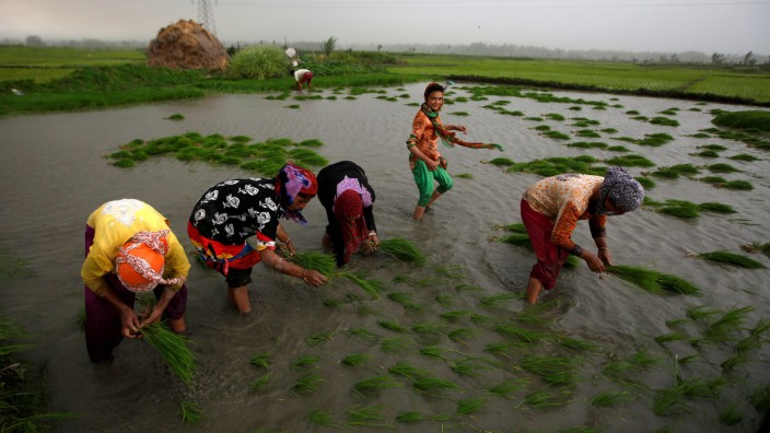 Farmers plant saplings in a rice field in Srinagar