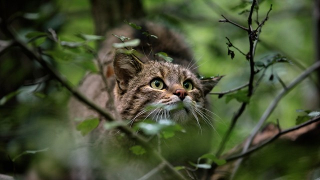 Wildkatzen. Rückkehr in unsere Wälder