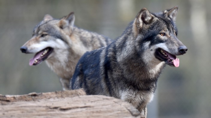 Zwei Wölfe im Gehege eines Wildparks