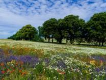 Wildpflanzen auf einer Sommerwiese in Deutschland