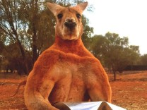 "´Roger"" das Känguru"