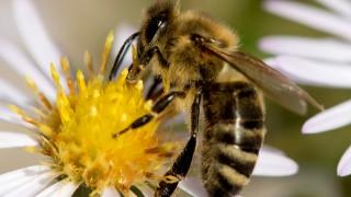 Biene Insektensterben Volksbegehren