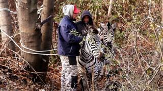 Zirkus-Zebras in der City - Polizei fängt Tiere ein