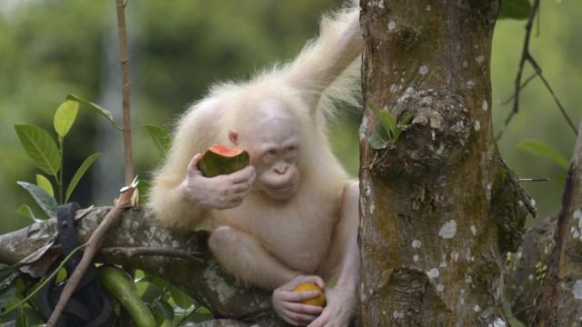 Weltweit einziger Albino Orang-Utan in Indonesien