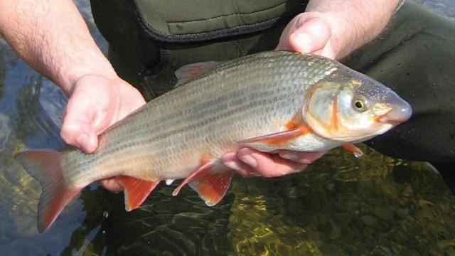 Fischsterben Bayern Nase