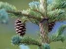 1280px-Picea_glauca_cone_Denali