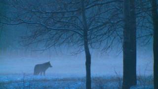 Wölfe Sachsen